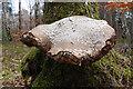 NJ3559 : Bracket Fungus by Anne Burgess