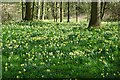SO7333 : Daffodils in Grove Covert by Philip Halling