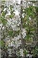 TL5143 : Hawthorn Blossom by Glyn Baker