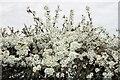 TL5243 : Blackthorn Blossom by Glyn Baker