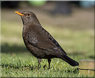 J5080 : Blackbird, Bangor by Rossographer