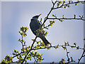 SD7808 : Starling (Sturnus vulgaris) by David Dixon