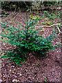 TF0820 : A tiny Yew by Bob Harvey