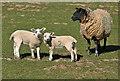 NT7672 : Twin lambs at Dunglass by Walter Baxter