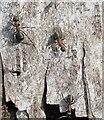 SU9587 : Wood ants on silver birch bark, Egypt Woods by David Hawgood
