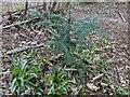 TF0820 : Young Yew tree by Bob Harvey