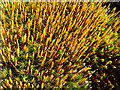 NJ2537 : Hair Moss (Polytrichum) by Anne Burgess