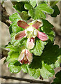 NJ2640 : Gooseberry (Ribes uva-ursi) by Anne Burgess