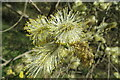 SE3531 : Goat Willow Catkins by Oxana Maher