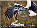SD4314 : White Storks at the Nest by David Dixon