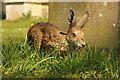 TF1765 : Stixwould hare by Richard Croft