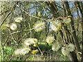 TQ0586 : Goat willow at Denham, male catkins by David Hawgood