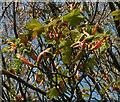 SX9364 : Spring sycamore, Stoodley Meadow by Derek Harper