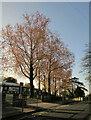 SX9065 : Spring leaves, Barton Road, Torquay by Derek Harper