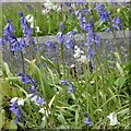 SJ9593 : Some bluebells are actually white by Gerald England