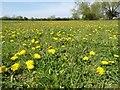 SO8929 : Dandelion flowers by Philip Halling
