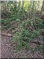 TF0820 : Self-sown Larch by Bob Harvey
