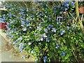 TQ2689 : Blue bush on Gurney Drive, Hampstead Garden Suburb by David Howard