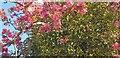TQ3095 : Mistletoe and Blossom, London N14 by Christine Matthews