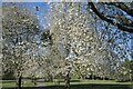 TF0919 : Avenue of flowering cherries by Bob Harvey