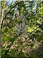 TF0820 : Crapapple Blossom by Bob Harvey
