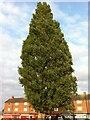SP3282 : Lombardy Poplar, Everdon Road by Alan Paxton