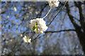 TF0919 : Cherry Blossom by Bob Harvey