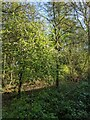 TF0820 : A crab-apple tree by Bob Harvey