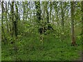 TF0820 : Wych Elm in the woods by Bob Harvey