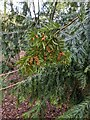 TF0820 : The fecund Yew by Bob Harvey