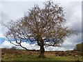 SK2579 : Lonely tree in Lawrence Field by Graham Hogg