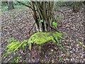 TF0820 : Mossy treestump by Bob Harvey