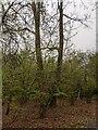 TF0820 : A bifurcated Oak by Bob Harvey