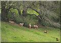 SX8557 : Alpacas, Stoke Gabriel by Derek Harper