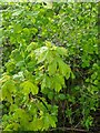 TF0820 : A young Field Maple by Bob Harvey
