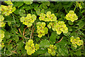 NJ3049 : Alternate-leaved Golden Saxifrage by Anne Burgess