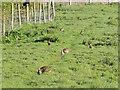 TM1762 : A family of rabbits at Debenham by Adrian S Pye
