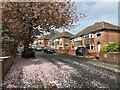 SK3985 : Fallen cherry blossom - Lathkil Road by David Lally