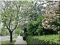 TQ2688 : Spring foliage on Lyttelton Road, Hampstead Garden Suburb by David Howard