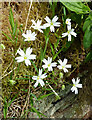NS2300 : Lesser stitchwort at Bargany by Mary and Angus Hogg