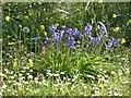 SJ8497 : Bluebells on London Road by Gerald England