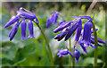 NJ4162 : Wild Hyacinth (Hyacinthoides non-scripta) by Anne Burgess