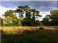 SP3183 : Pine trees in grounds of Keresley Hall by Alan Paxton