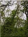 TF0820 : Phototrophic Oak by Bob Harvey
