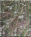 TF0820 : Lichens on dead twigs by Bob Harvey