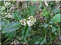 TF0820 : Holly in flower by Bob Harvey