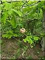TF0820 : Oak Apple by Bob Harvey