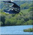 SP0274 : Grey Heron taking flight by Mat Fascione