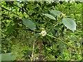 TF0820 : Holly flowers by Bob Harvey