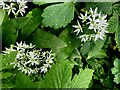 H1858 : Wild garlic (close-up) by Kenneth  Allen